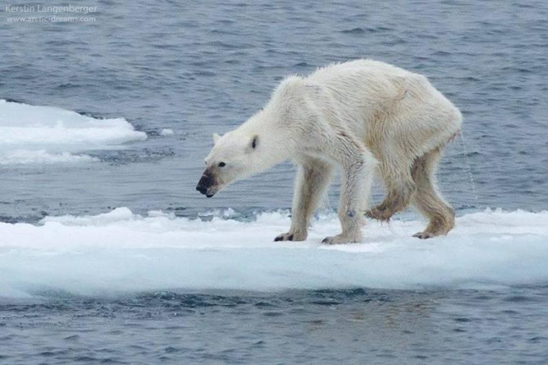 Con gấu cái Bắc Cực gầy trơ xương do băng tan nhanh ở vùng cực. Ảnh: Kerstin Langenberger  (nguồn:metro.co.uk- ngày 24/9/2015)